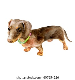 Watercolor Dog Dachshund Portrait - Hand Painted Animals Pets Illustration. Isolated on white background. Image.Picture