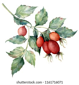 Watercolor dog rose branch. Hand painted rose hips with leaves isolated on white background. Botanical illustration for design, print or background. Floral clip art