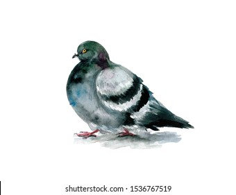 Watercolor dove on the white background