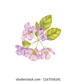 watercolor drawing apple tree blossoms and leaves, hand drawn illustration