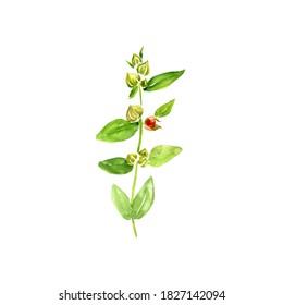 watercolor drawing ashwagandha, Withania somnifera , hand drawn illustration of medicinal plant