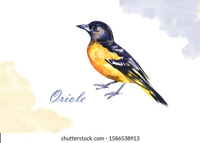 Watercolor drawing bird, yellow oriole painted at white background, hand drawn illustration