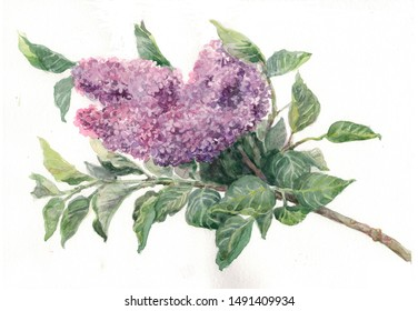 Watercolor drawing a branch of blooming lilac On a white background
