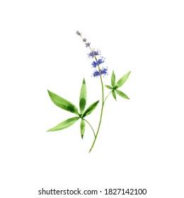 watercolor drawing chasteberry, Vitex agnus-castus, hand drawn illustration of medicinal plant