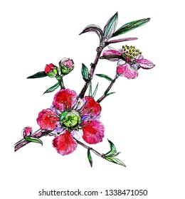 Watercolor drawing color graphics flowering manuka. Romantic floral background for design