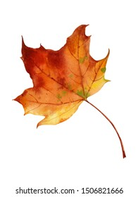 Watercolor drawing of colorful bright autumn maple leaf.