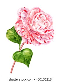A watercolor drawing of a flower named camellia japonica 'Extravaganza', white with pink stripes, on a stem with two green leaves, hand painted on white background, vintage style