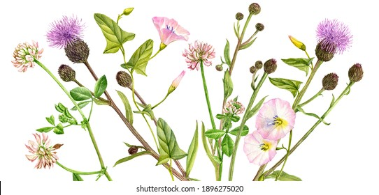 watercolor drawing flowers , floral background with field thistle, clover and bindweed,, wildflowers and plants, hand drawn illustration