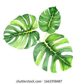 Watercolor drawing of a green leaf. Monstera leaf. Green leaf of a tropical plant. Watercolor natural art. Floral illustration.