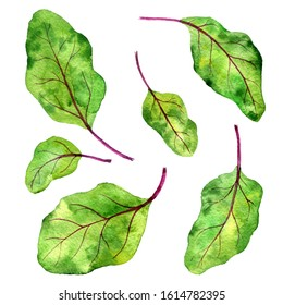 watercolor drawing green leaves of beet isolated at white background, beet greens, vegan product, ingredient for salad, hand drawn illustration