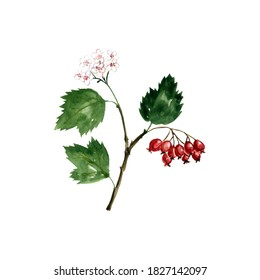 watercolor drawing hawthorn branch with leaves, flowers and berries, Crataegus laevigata , hand drawn illustration