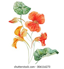 watercolor drawing isolated orange and yellow nasturtium, flower