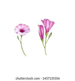 watercolor drawing mallow bindweed flowers isolated at white background, hand drawn illustration