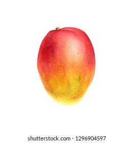 watercolor drawing mango isolated at white background, hand drawn botanical illustration