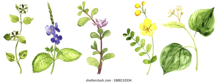 watercolor drawing medicinal plants , hand drawn illustration