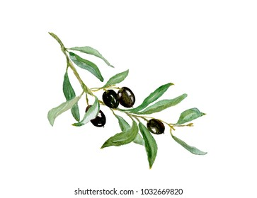 Watercolor drawing of olive branch with leaves isolated on white background. Hand drawn illustration with black olive.