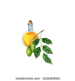watercolor drawing pili nut oil, bottle of vegetable oil and Canarium ovatum, hand drawn illustration
