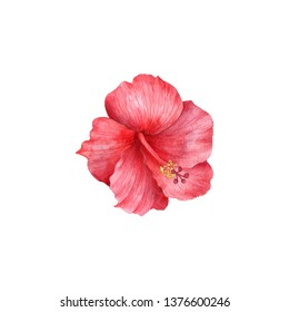 watercolor drawing red hibiscus flower isolated at white background, hand drawn illustration