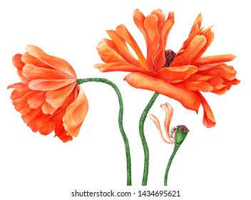 watercolor drawing red poppy flowers isolated at white background, hand drawn bptanical illustration