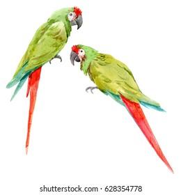 Watercolor drawing set green parrot macaw. Ara ambigua