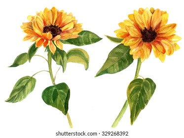A watercolor drawing of two bright golden sunflowers with green leaves, on white background, vintage style botanical art