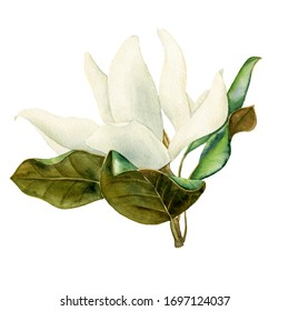 watercolor drawing white magnolia flower, hand drawn illustration