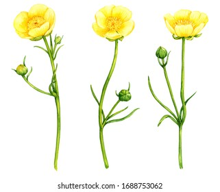 watercolor drawing yellow flowers of meadow buttercup, Ranunculus acris, isolated floral elements at white background, hand drawn illustration