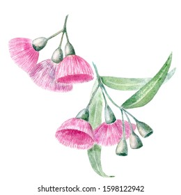 Watercolor eucalypt flowers and gumnuts. Botanical illustration of australian evergreen. Hand drawn pink fluffy flower isolated on white. Floral element for packaging, label, decoration design.