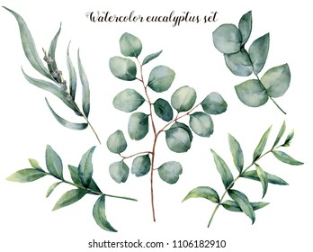 Watercolor eucalyptus big set. Hand painted baby, seeded and silver dollar eucalyptus branch isolated on white background. Floral illustration for design, print, fabric or background.