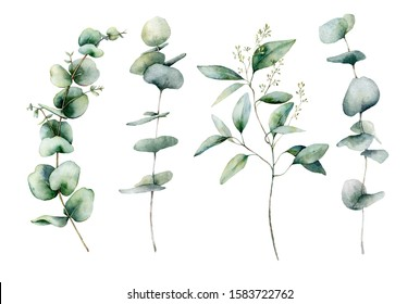 Watercolor eucalyptus branches set. Hand painted eucalyptus thick branch and leaves isolated on white background. Floral illustration for design, print, fabric or background. Botanical set