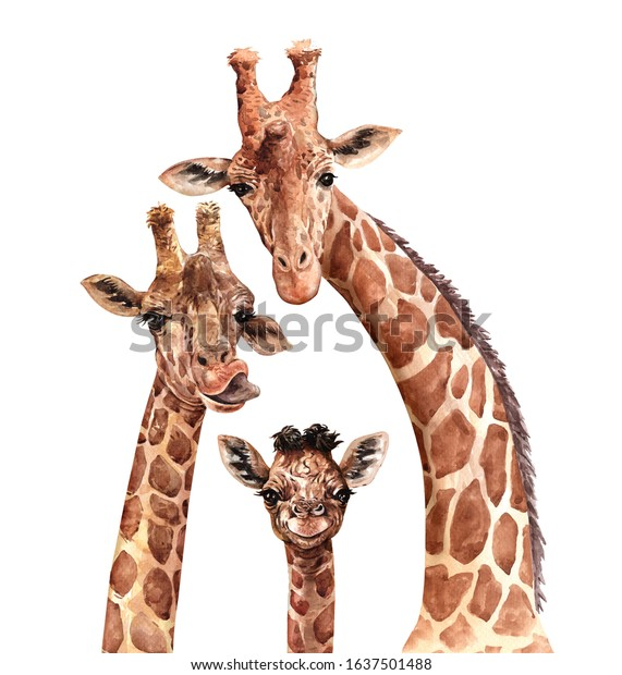 Watercolor Family Giraffe. South affrica animal. Giraffe paint. Watercolor mom, dad and baby drawing for Baby shower card layer path, clipping path isolated on white background.