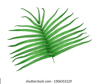 Watercolor. Fern isolated on white background. Pteris vittata.
