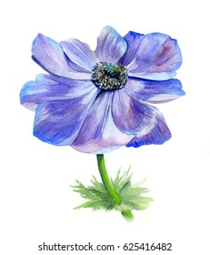 Watercolor floral botanical illustration. Anemones isolated