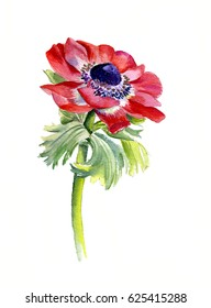 Watercolor floral botanical illustration. Red anemones. isolated