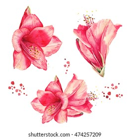 Watercolor floral elements set. Vintage lily flowers. Collection of red amaryllis flowers.