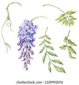 Watercolor floral isolated elements. Wisteria flower and leaves.