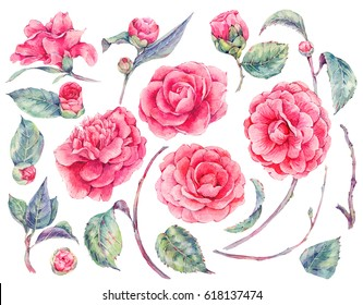 Watercolor floral set of camellia flowers, buds, twigs and leaves, natural design elements isolated on white background