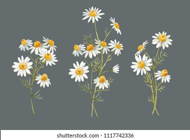 Watercolor floral set of illustrations, drawing a bouquet of chamomile on a dark background, therapeutic chamomile