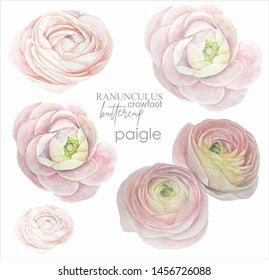 Watercolor floral set of isolated flowers of ranunculus, buttercup. Illustration.