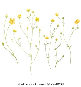 Watercolor floral set wildflowers, delicate yellow buttercup