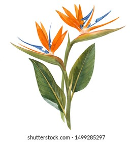 Watercolor floral tropical composition, Strelitzia flowers with leaves.