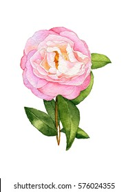 Watercolor flower. Blooming pink Camellia with leaves for wedding, greeting design or Botanical illustration