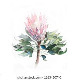Watercolor flower protea