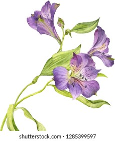 Watercolor flower of purple Alstroemeria on a white background.