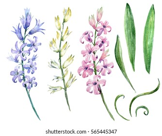 watercolor flower set flowers Pink and blue hyacinth leaves