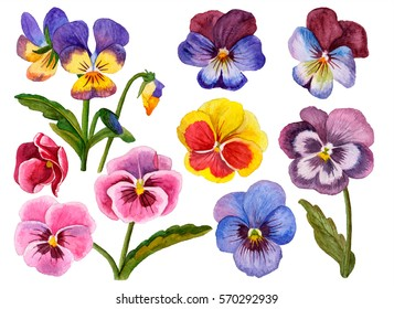 Watercolor flower set, hand drawn illustration of pansies, colorful floral elements isolated on white background.