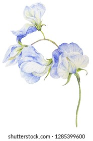 Watercolor flower sweet peas on a white background.