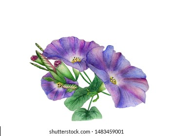 Watercolor with a flowering branch ipomoea close-up. Beautiful purple and  lilac flowers of morning glory. Illustration executed in traditional сhinese style, isolated on white background.