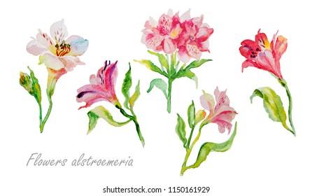 Watercolor flowers alstroemeria