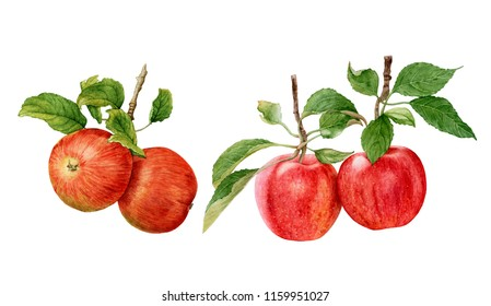 Watercolor fresh, juicy red apples with leaves, apple branches isolated on white background.  Healthy, natural food, autumn harvest.